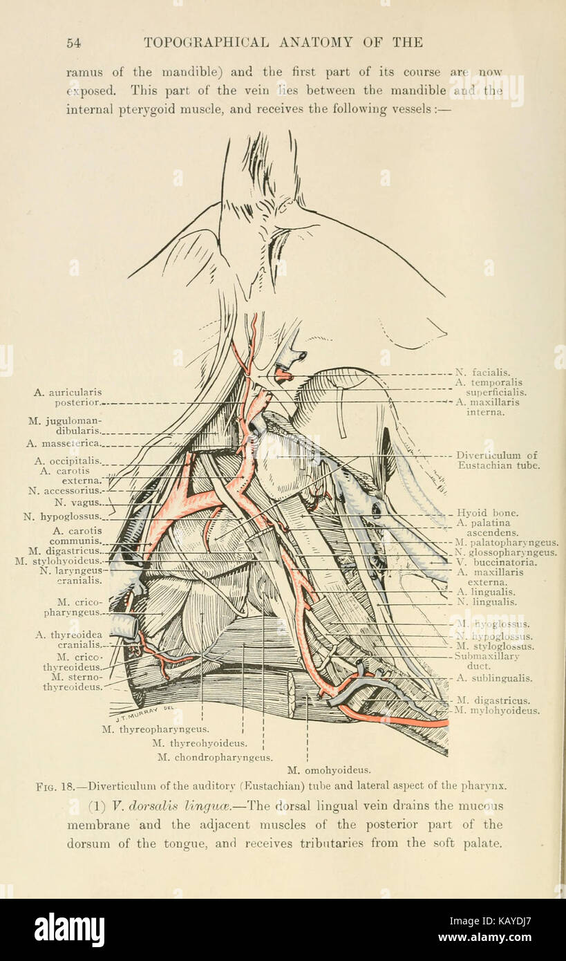 The topographical anatomy of the head and neck of the horse (Page 54 ...