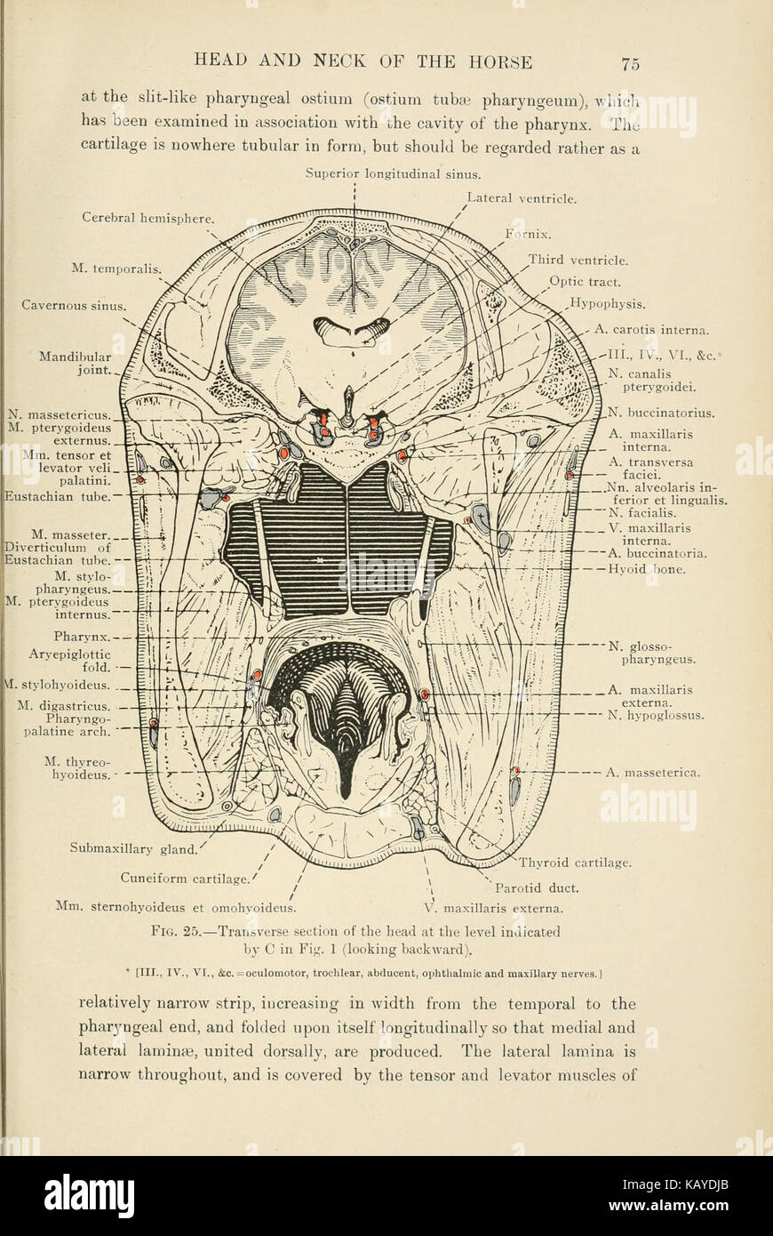 The topographical anatomy of the head and neck of the horse (Page 75 ...
