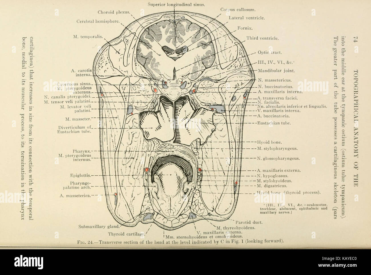 The topographical anatomy of the head and neck of the horse (Page 74 ...