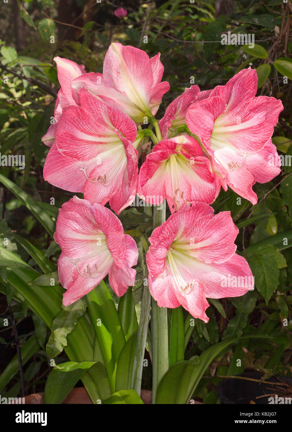 Cluster Of Huge Pink Flowers Streaked With White Of Hippeastrum