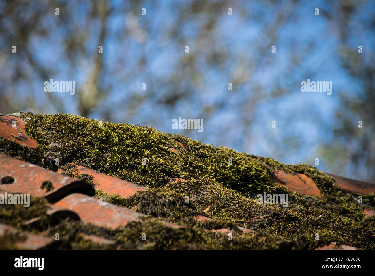 Moss Growing On Roof Tiles   Stock Image