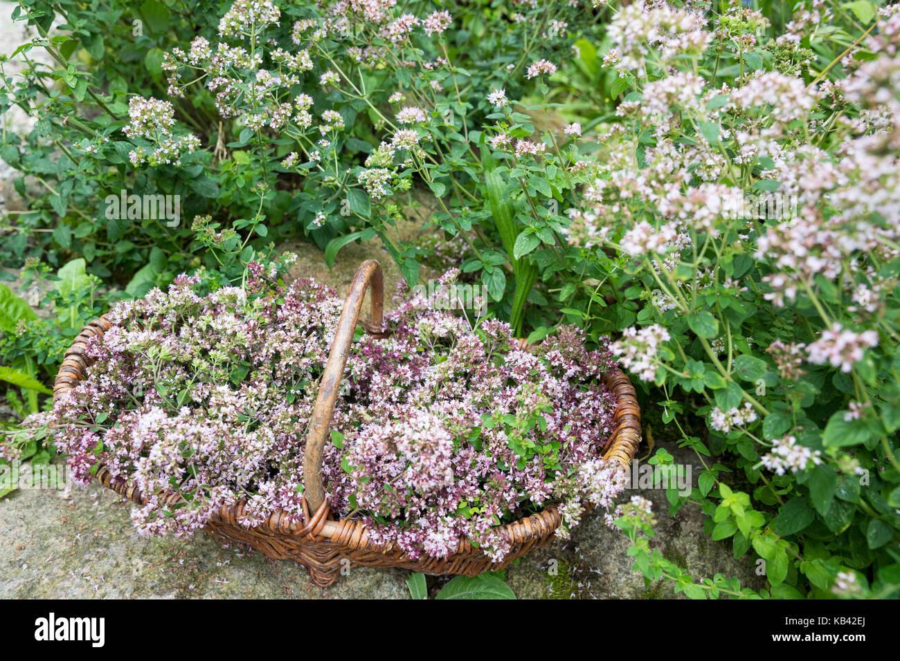origano origanum vulgare stock photos origano origanum. Black Bedroom Furniture Sets. Home Design Ideas