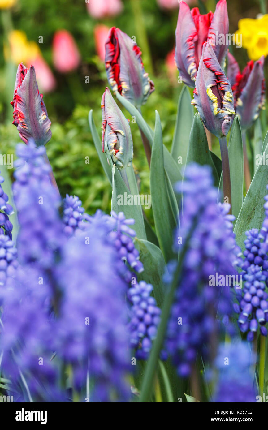 grape hyacinth and tulips in bed of spring flowers stock image