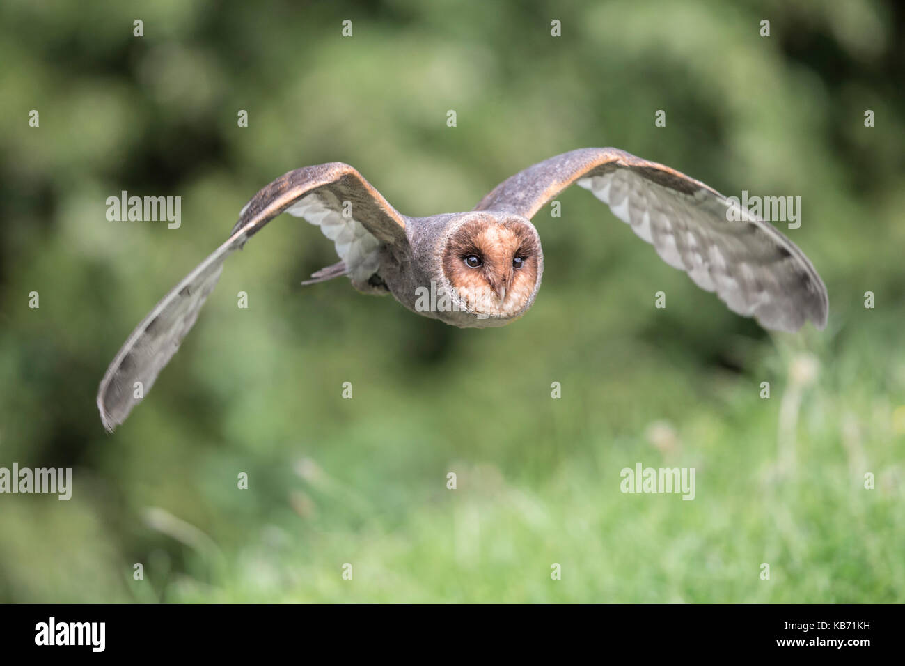 Owl Flying Front Stock Photos & Owl Flying Front Stock Images - Alamy
