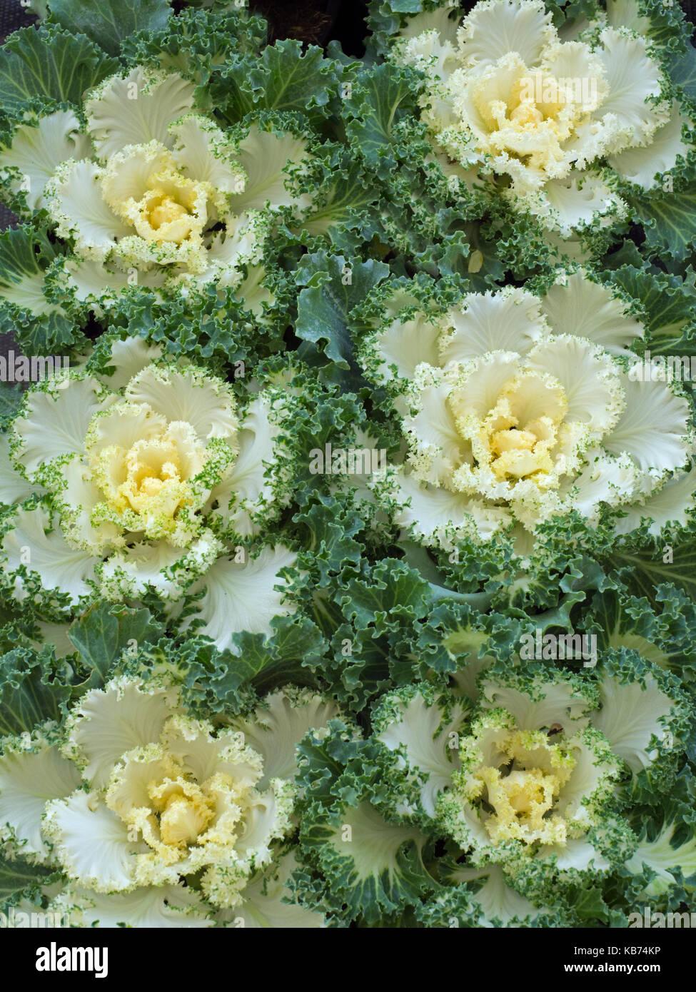 Nagoya White Ornamental Kale In Garden Border Stock Photo 161811882