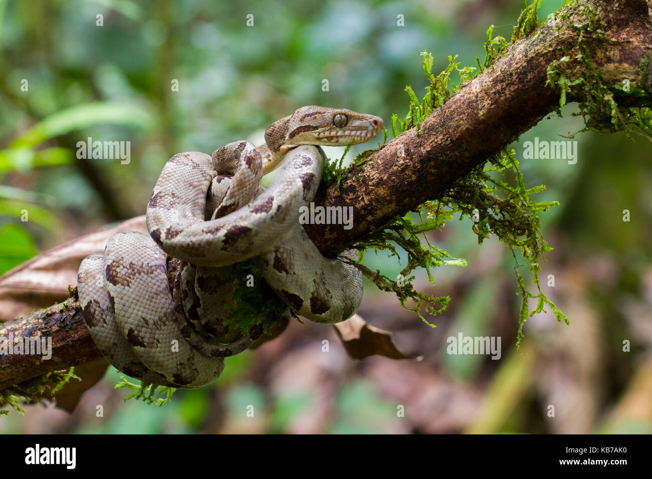 snakes of ecuador stock photos u0026 snakes of ecuador stock images