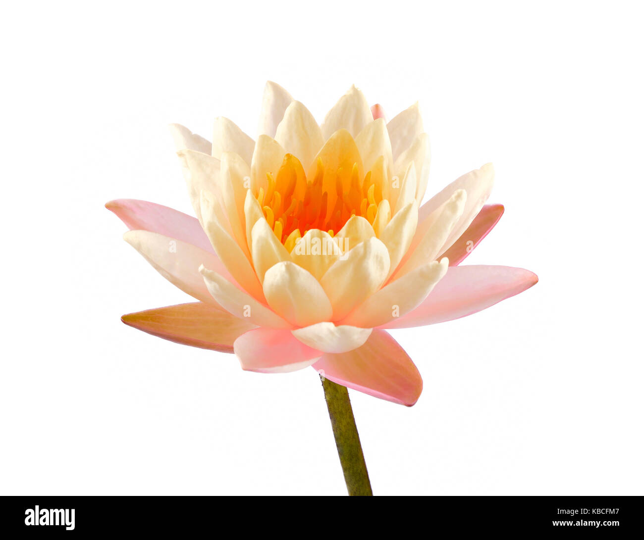 Lotus flower isolated on white background beautiful lotus single lotus flower isolated on white background beautiful lotus single lotus flower isolated on white water lily izmirmasajfo Images