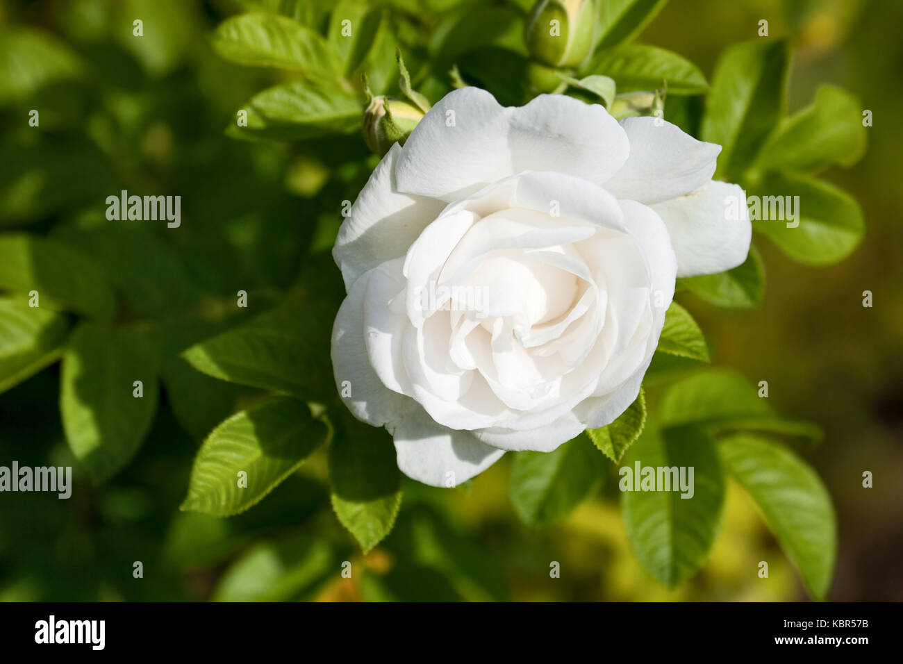 One Big Flower White Rose Close Up Stock Photo 162163551 Alamy