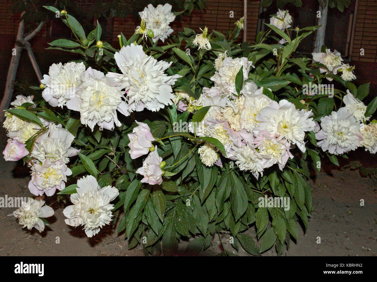 Fine plant with big white flowers photos wedding and flowers beautiful plant with big white flowers contemporary wedding and mightylinksfo Images