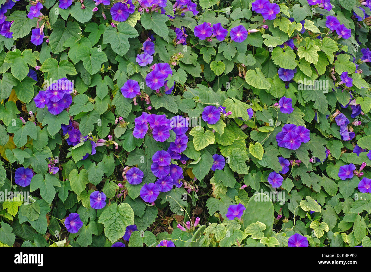 Blue dawn glory stock photos blue dawn glory stock images alamy this is ipomea indica the blue morning glory or blue dawn flower from the izmirmasajfo Choice Image
