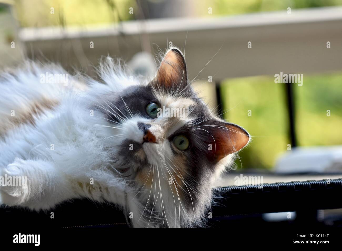 Long Haired Calico Kitten Best Cat And Kitten Image And HD