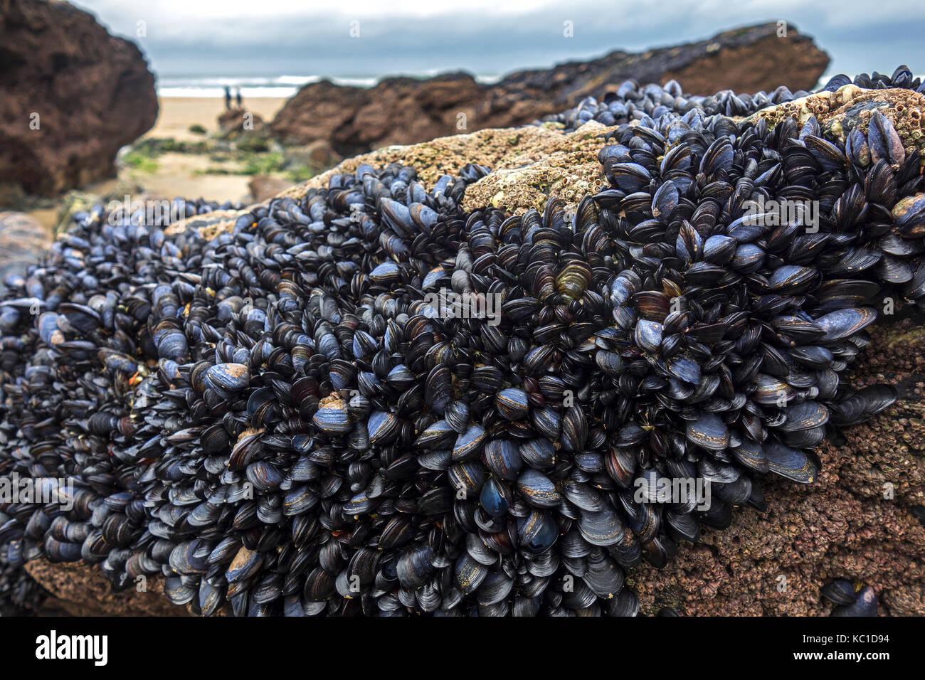Mussels On Rock...