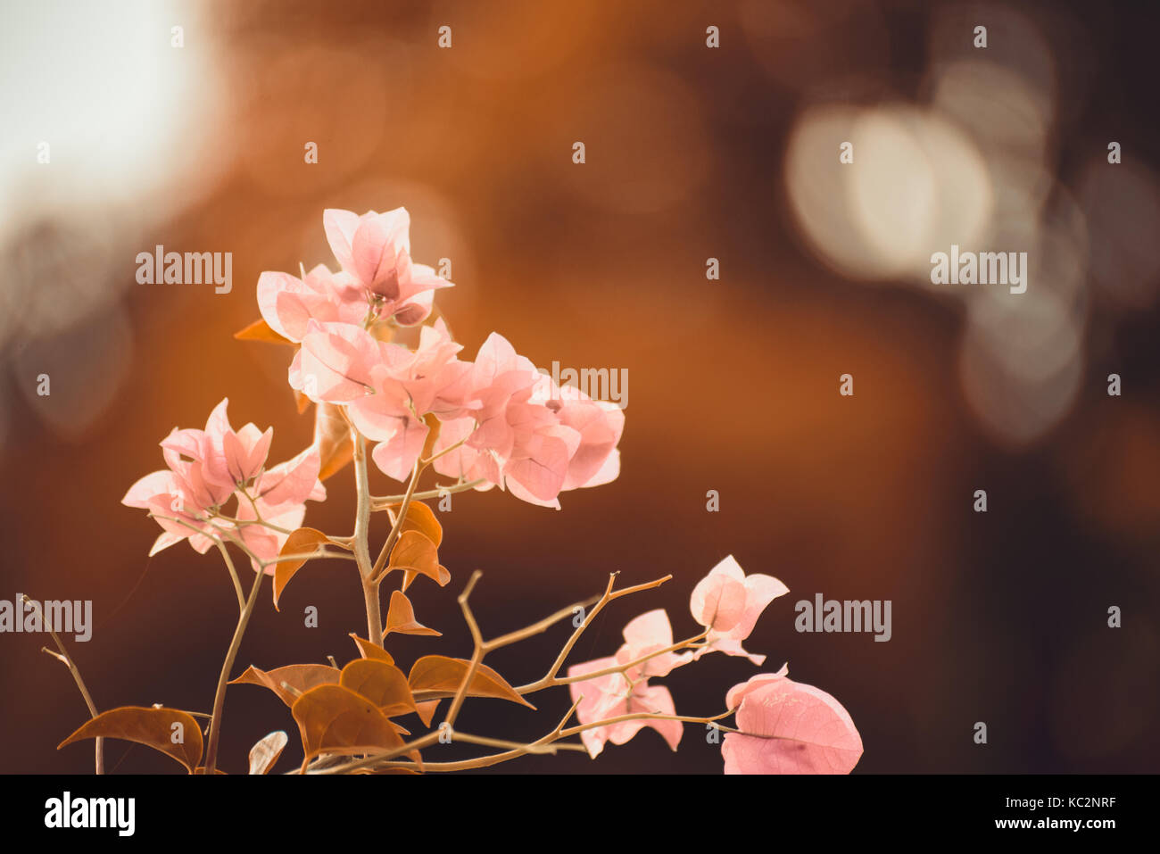 Pink Bougainvillea flower or Paper Flower with leaves in the garden ...