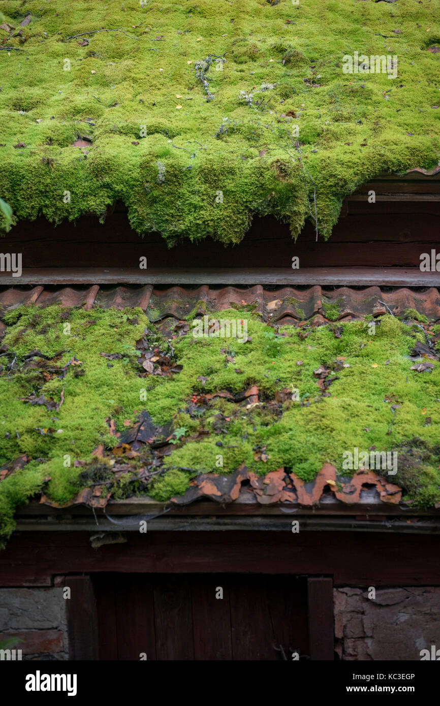 Green Moss Growing On Old Tile Roof   Stock Image