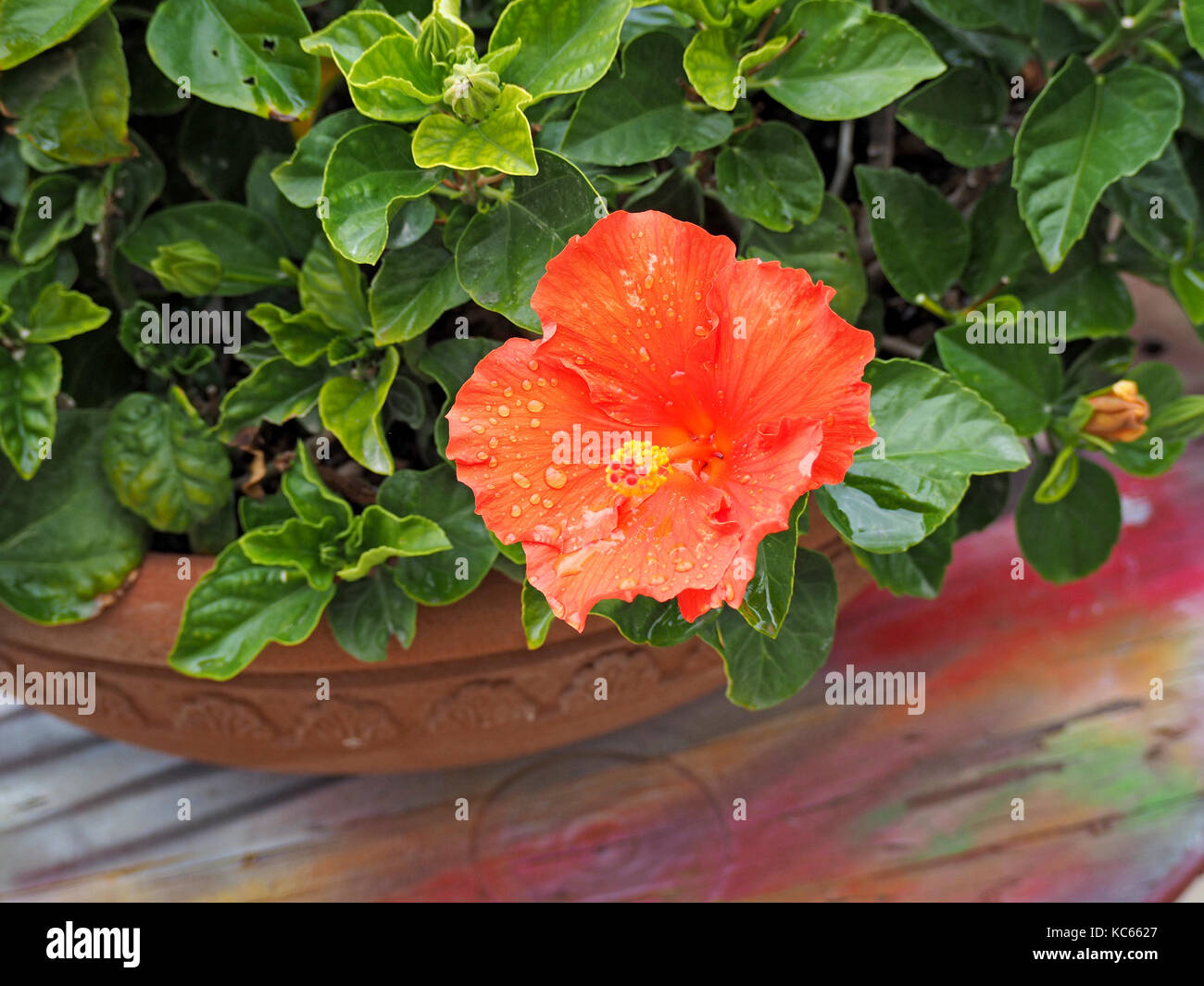 Red yellow flower of chinese hibiscus hibiscus rosa sinensis red yellow flower of chinese hibiscus hibiscus rosa sinensis china rose hawaiian hibiscus or shoe black plant growing in a pot in tuscany italy izmirmasajfo