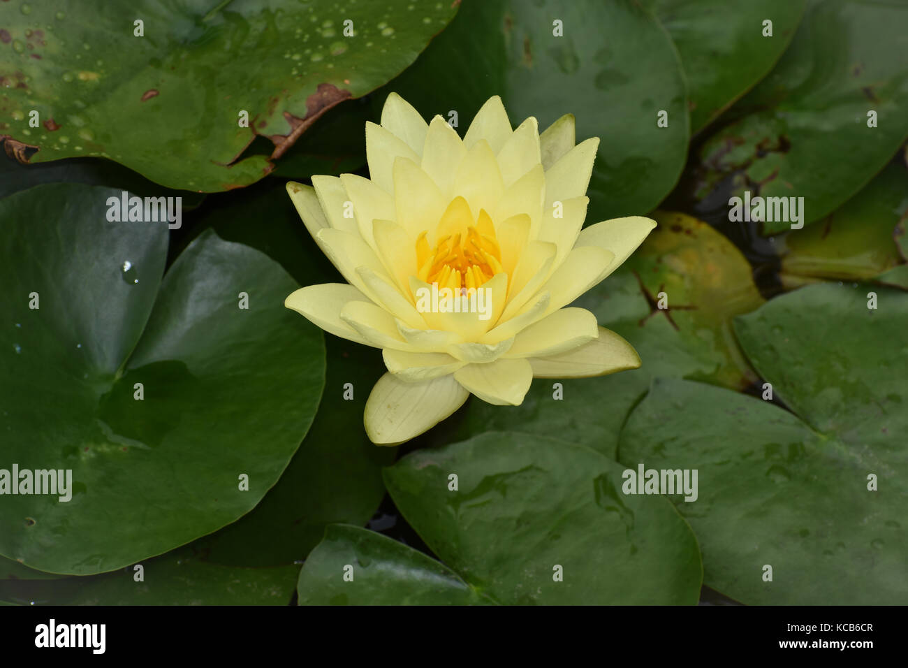 Close Up Of Yellow Lotus Flower After The Rain Stock Photo
