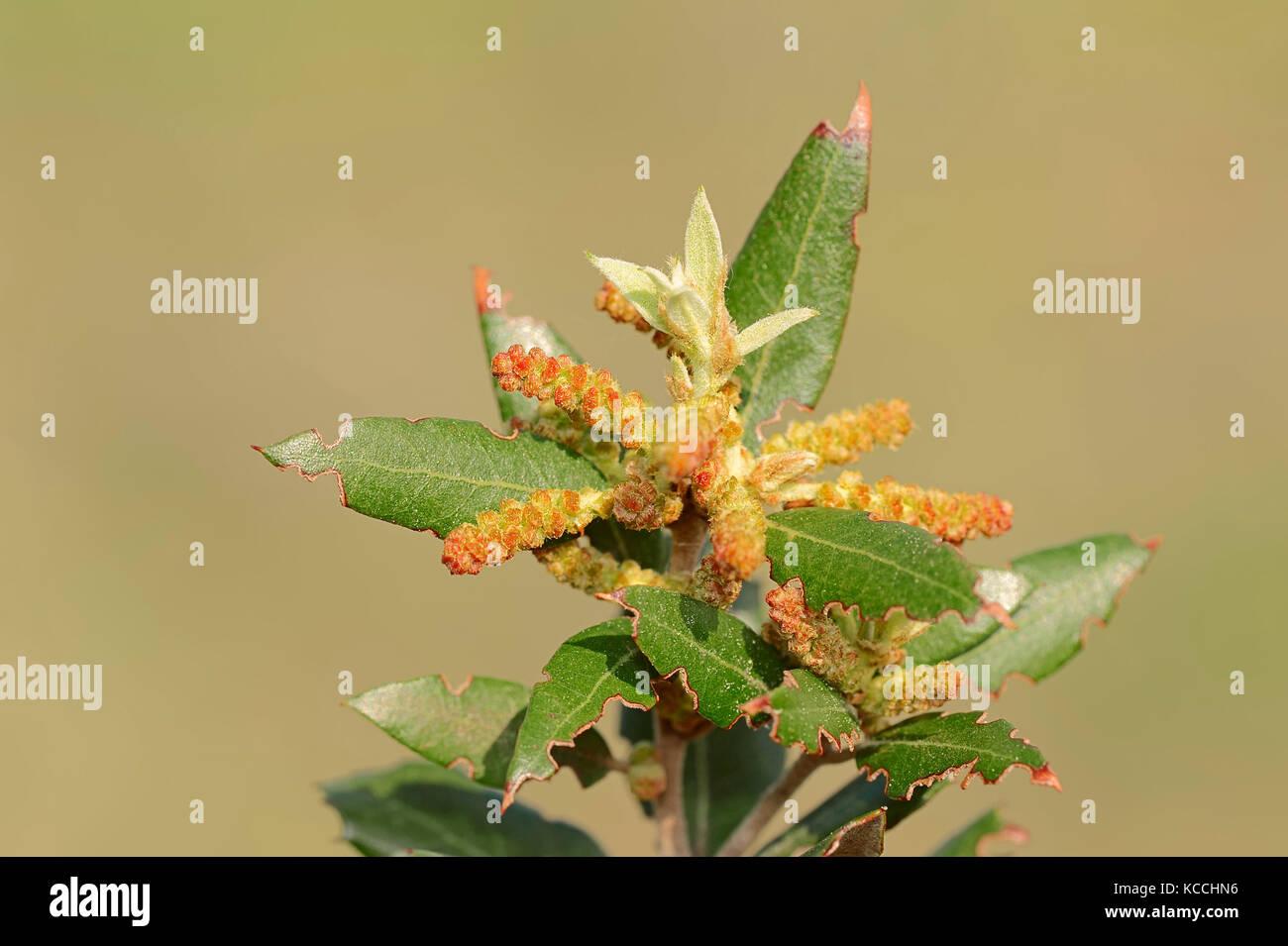 Quercus Coccifera Stock s & Quercus Coccifera Stock