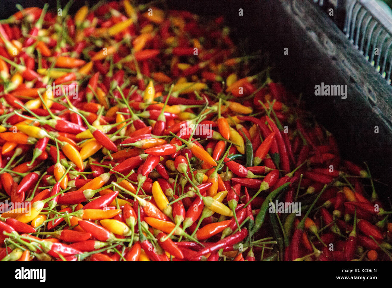 Mixed Colorful Red Orange And Yellow Thai Chili Peppers Grown In An