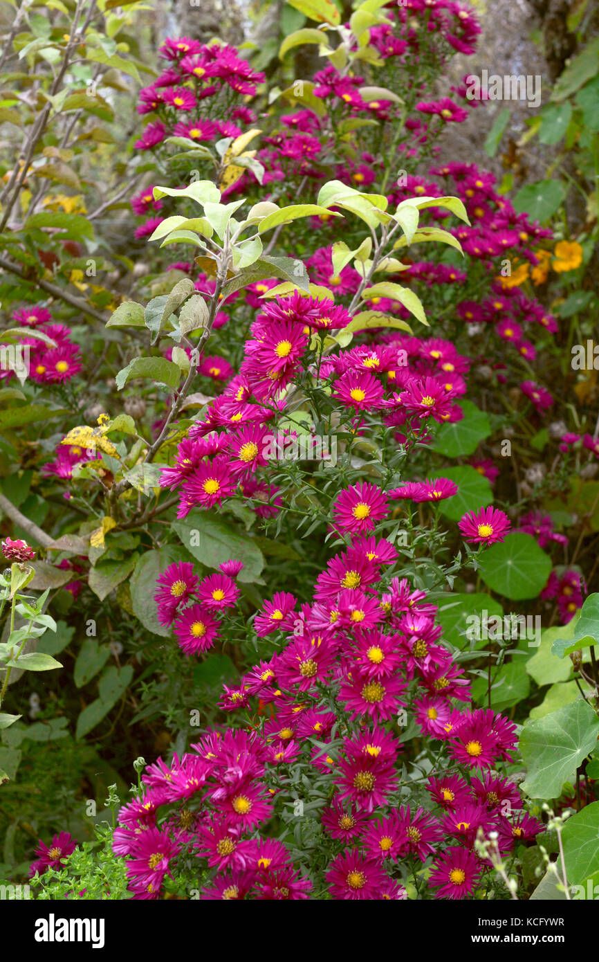 Tall michaelmas daisy plant with pink flowers climbs through stock tall michaelmas daisy plant with pink flowers climbs through branches of an apple tree and among a verdant autumnal flower bed mightylinksfo