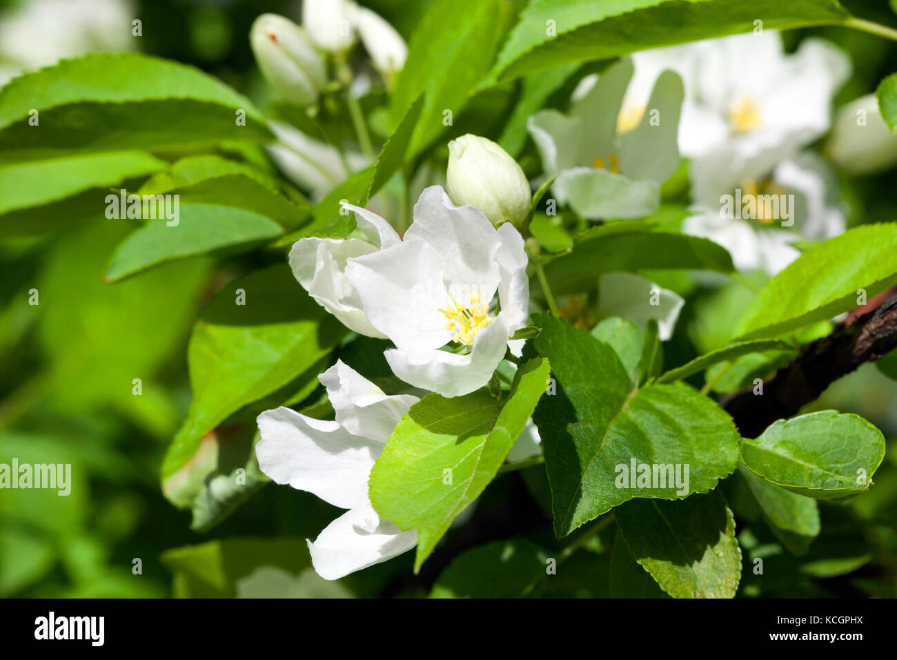 Jasmine Flower Growing On The Bush In Garden Floral Background