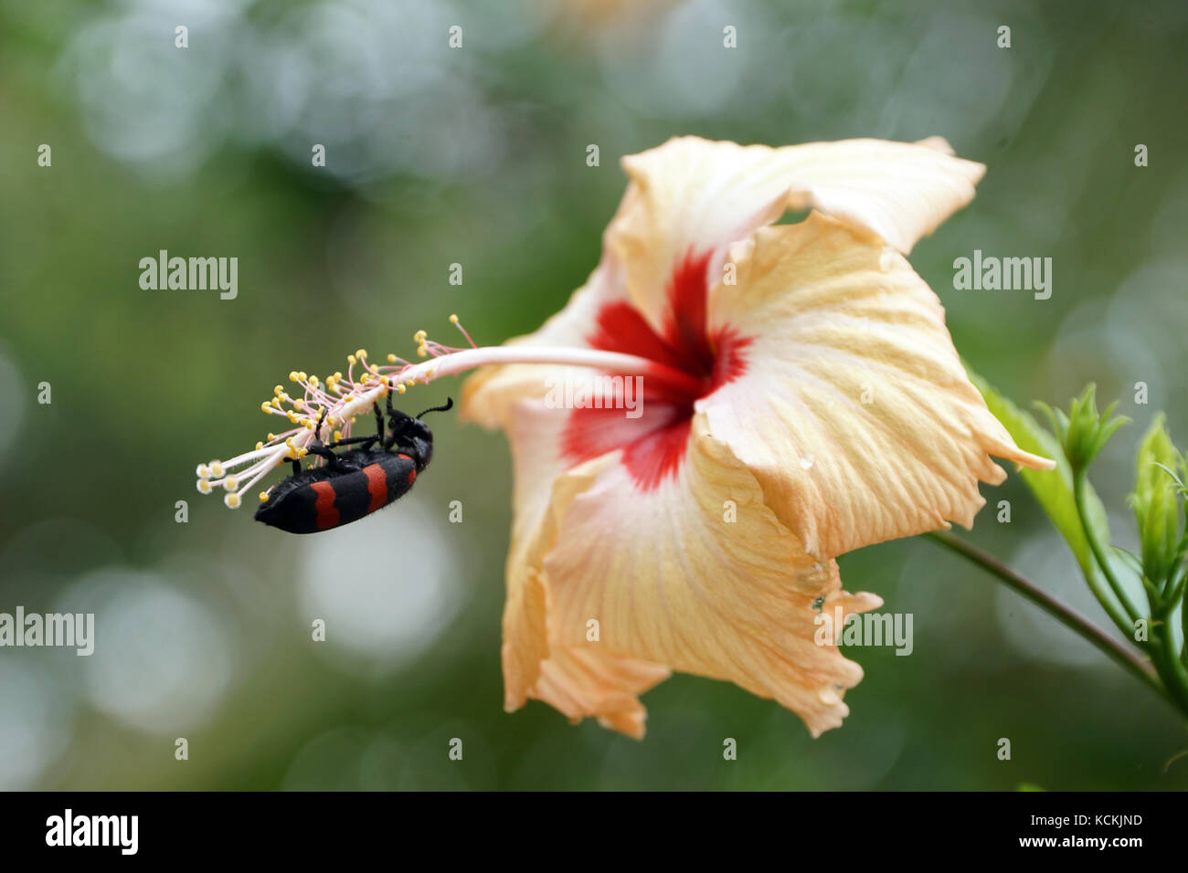 A Black And Red Beetle For Eating Petals Of The Hibiscus Flower