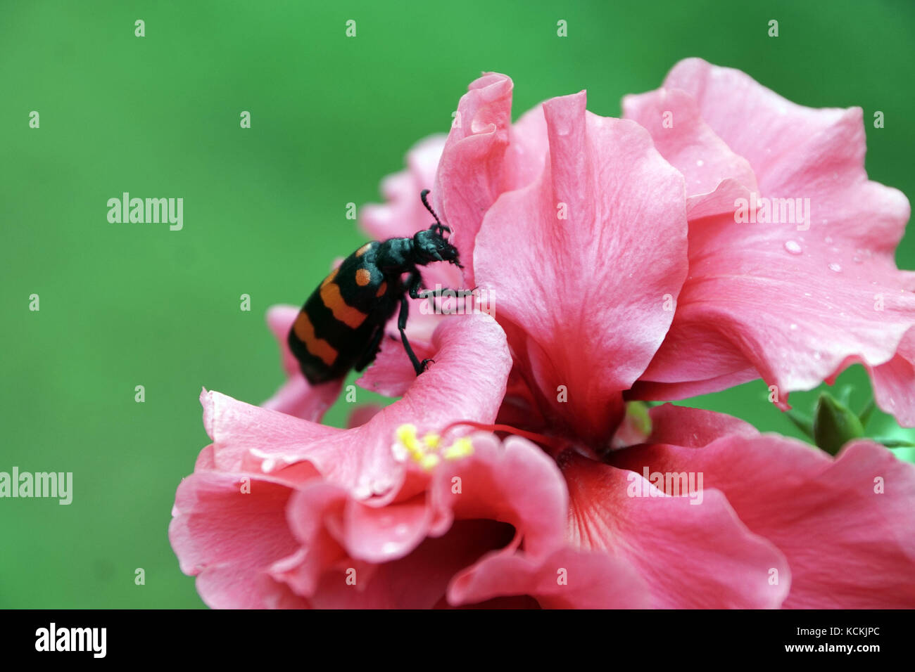 Close Up Of Beetle And Hibiscus Flower Stock Photos Close Up Of