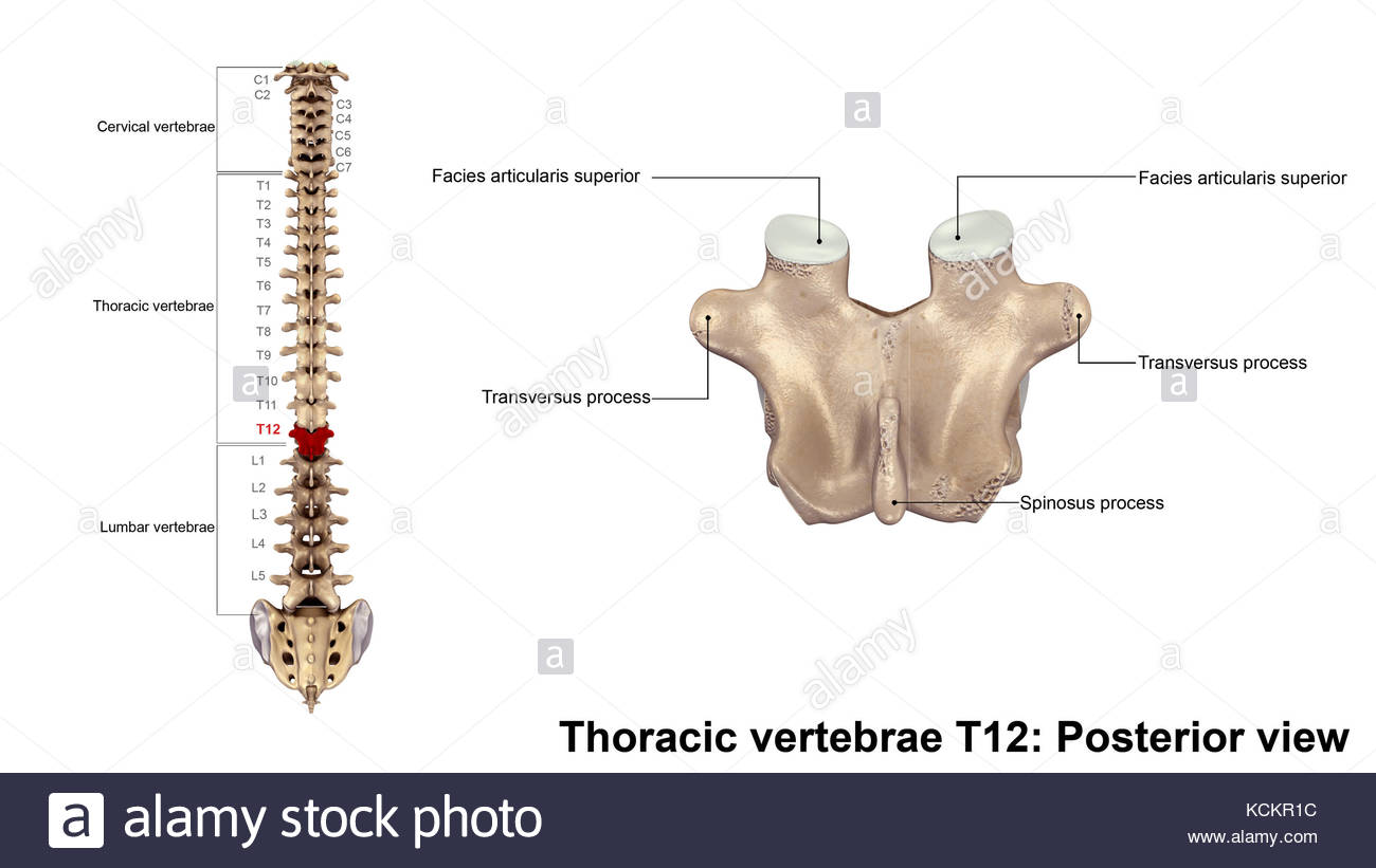 Thoracic Vertebrae Stock Photo 162704344 Alamy