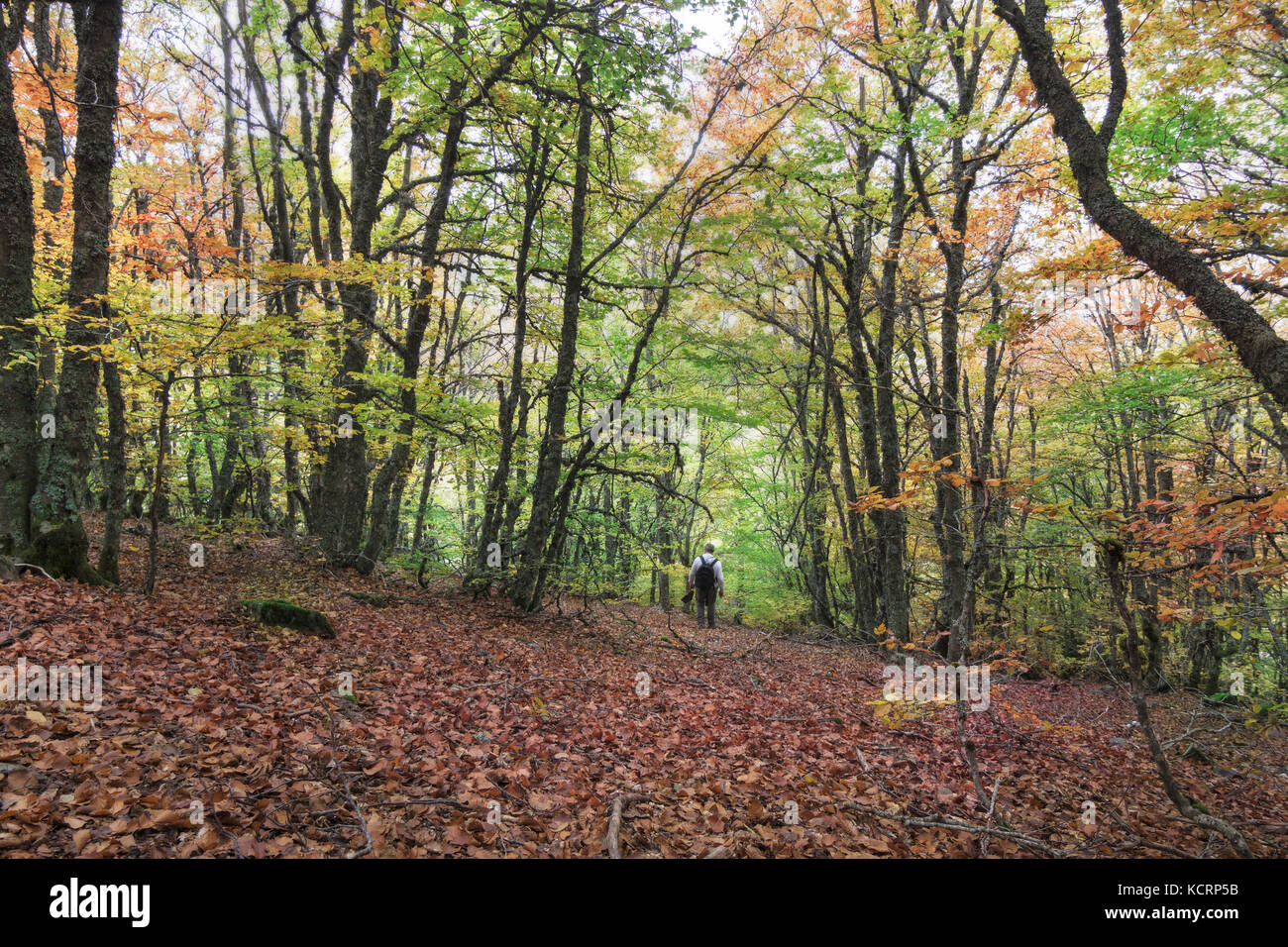 Beech Forest in autumn located in the natural border between Stock ...