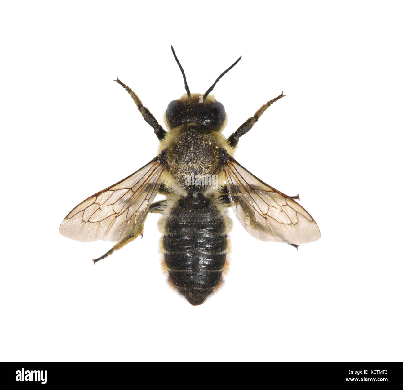 Leaf Cutter Bees Stock Photos Images