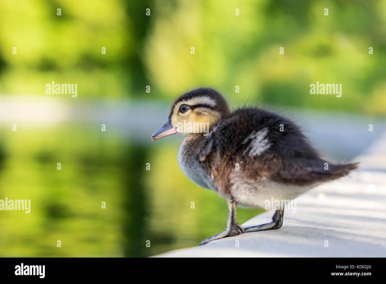 wood duck duckling stock photos u0026 wood duck duckling stock images