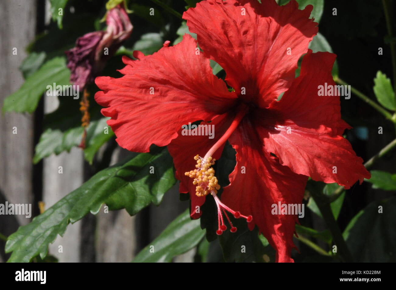 Hibiscus flowers townsville queensland australia stock photo hibiscus flowers townsville queensland australia izmirmasajfo