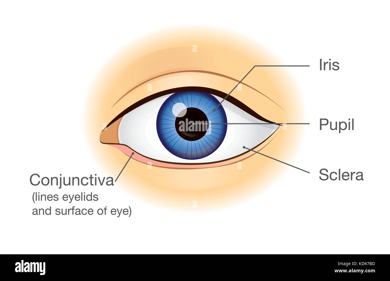 Human eye anatomy in front view Stock Vector Art & Illustration ...