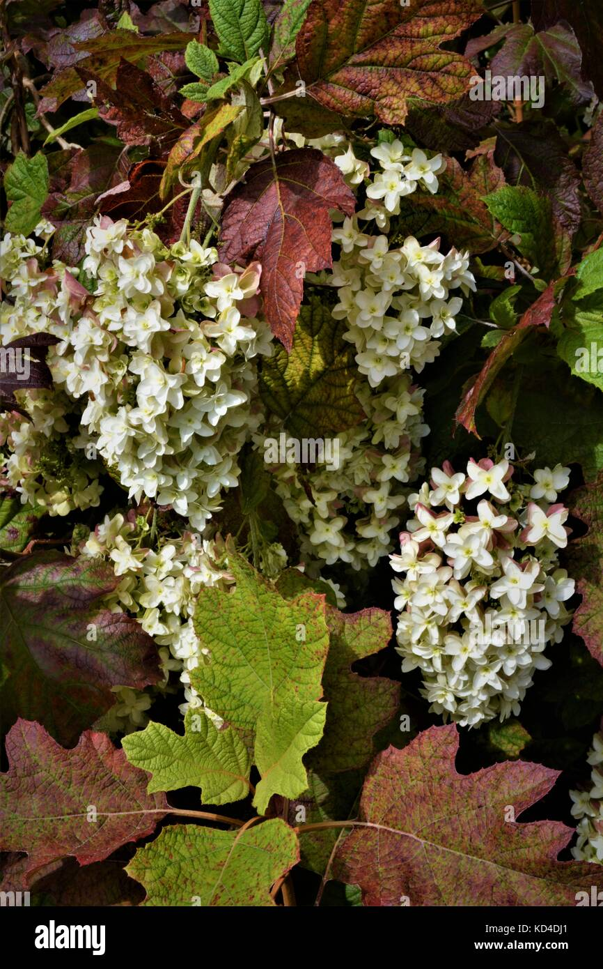 Shrub With Large Bunches Of White Flowers And Purpling Leaves Stock