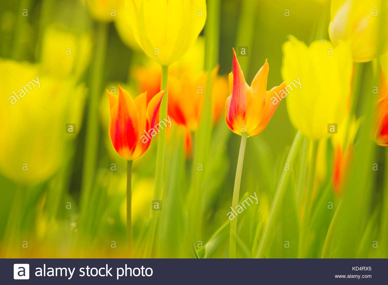 Sunny Yellow Red Colored Beautiful Tulip Flowers Background Stock