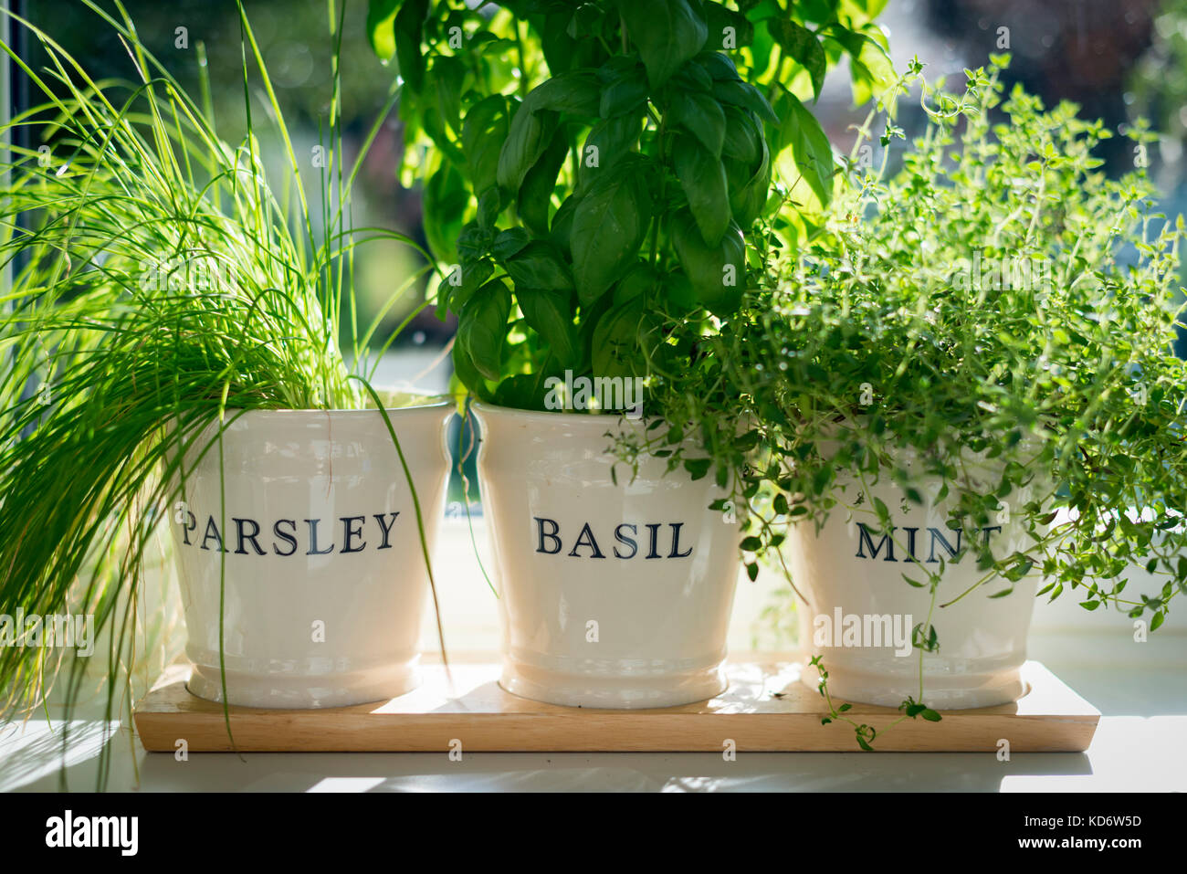 Parsley basil and mint herbs growing in plant pots on a Kitchen windowsill herb pots