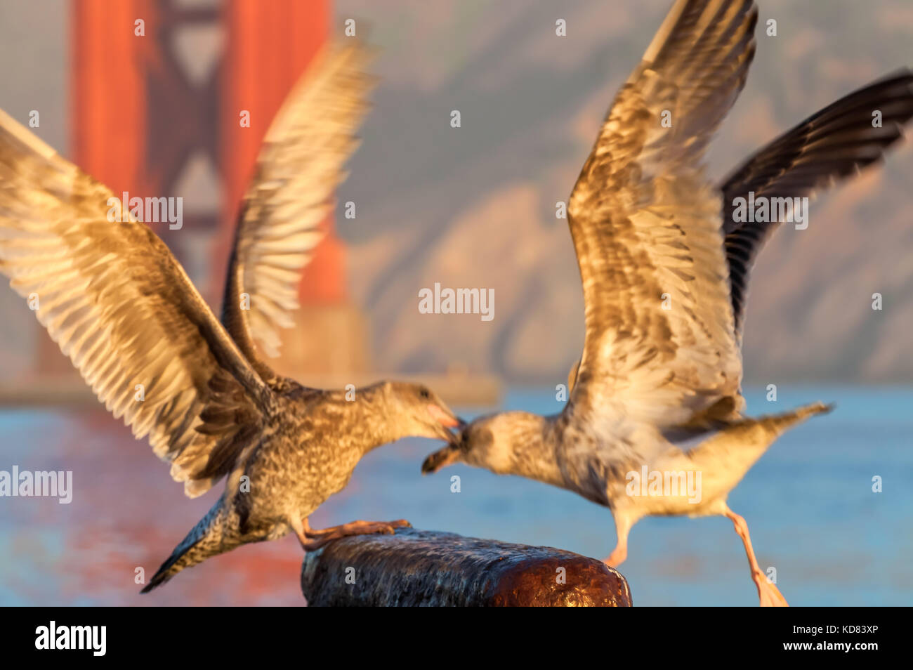 Two juvenile western gulls (Larus occidentalis)  are fighting for a perching spot, San Francisco, California. Stock Photo
