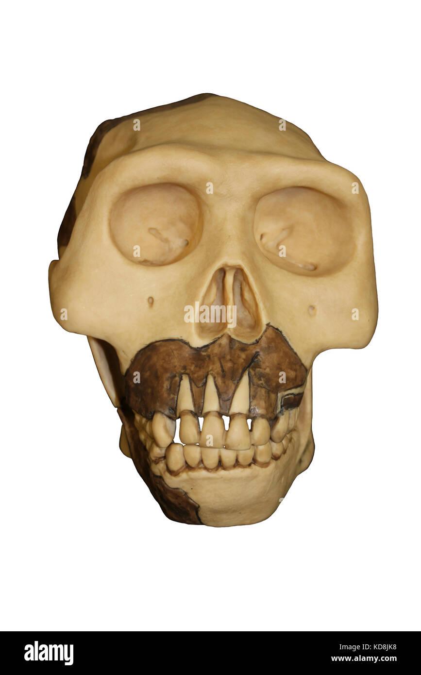 Facial appearences of ngandong skulls