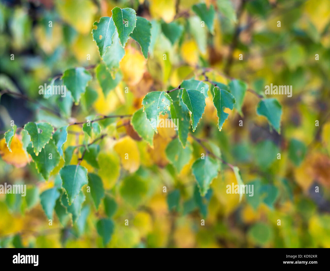 Close up shot of birch tree leaves. Changing color in autumn Stock ...