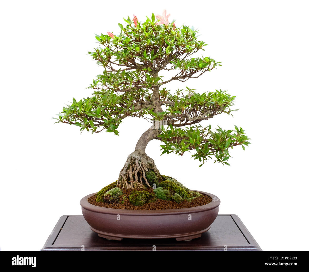 Bonsai Tree Azalea Rhododendron Indicum With Pink Flowers Stock
