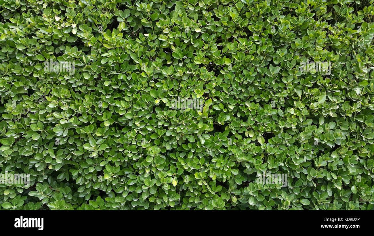 buxus sempervirens hedge stock photos buxus sempervirens. Black Bedroom Furniture Sets. Home Design Ideas
