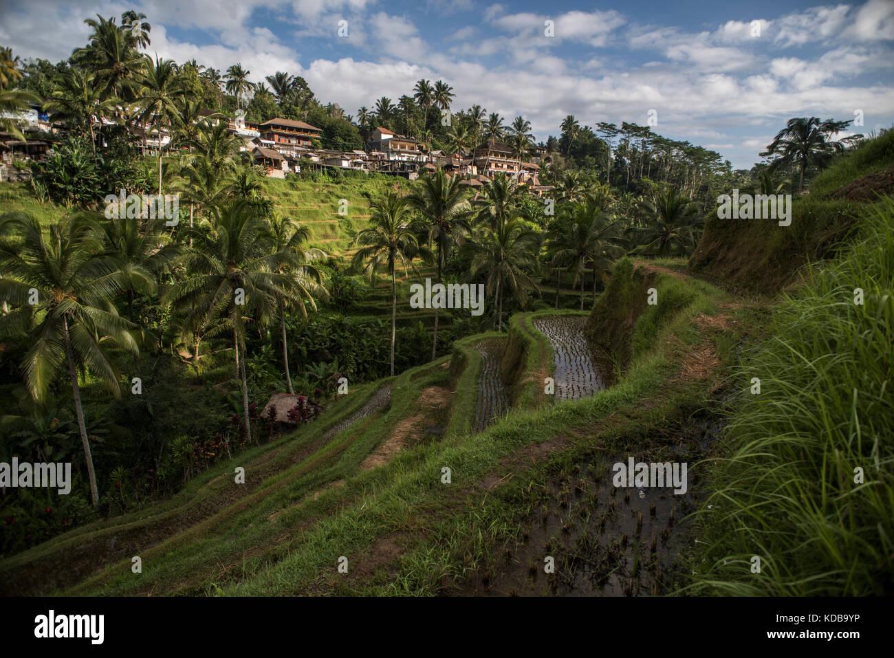 Paddy field rice farming terraces stock photos paddy for Terrace ubud bali