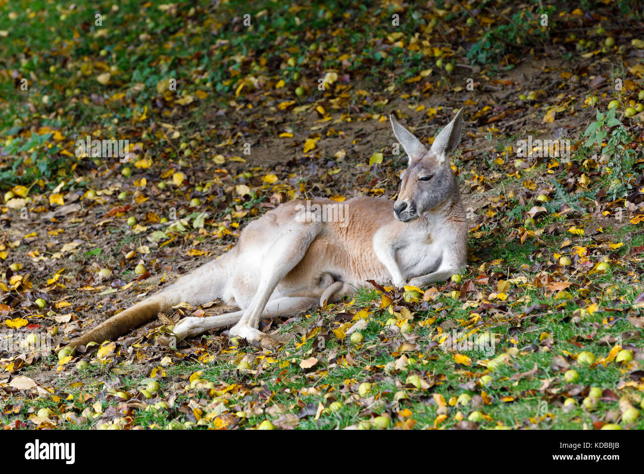 Red Kangaroo Megaleia Rufa One Of The Biggest Kangaroo With Small Baby Hidden In Bag