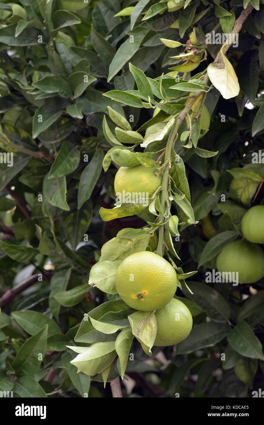 Hotel Green Lemon Greece Citrus Fruit Lemons Stock Photos Greece Citrus Fruit