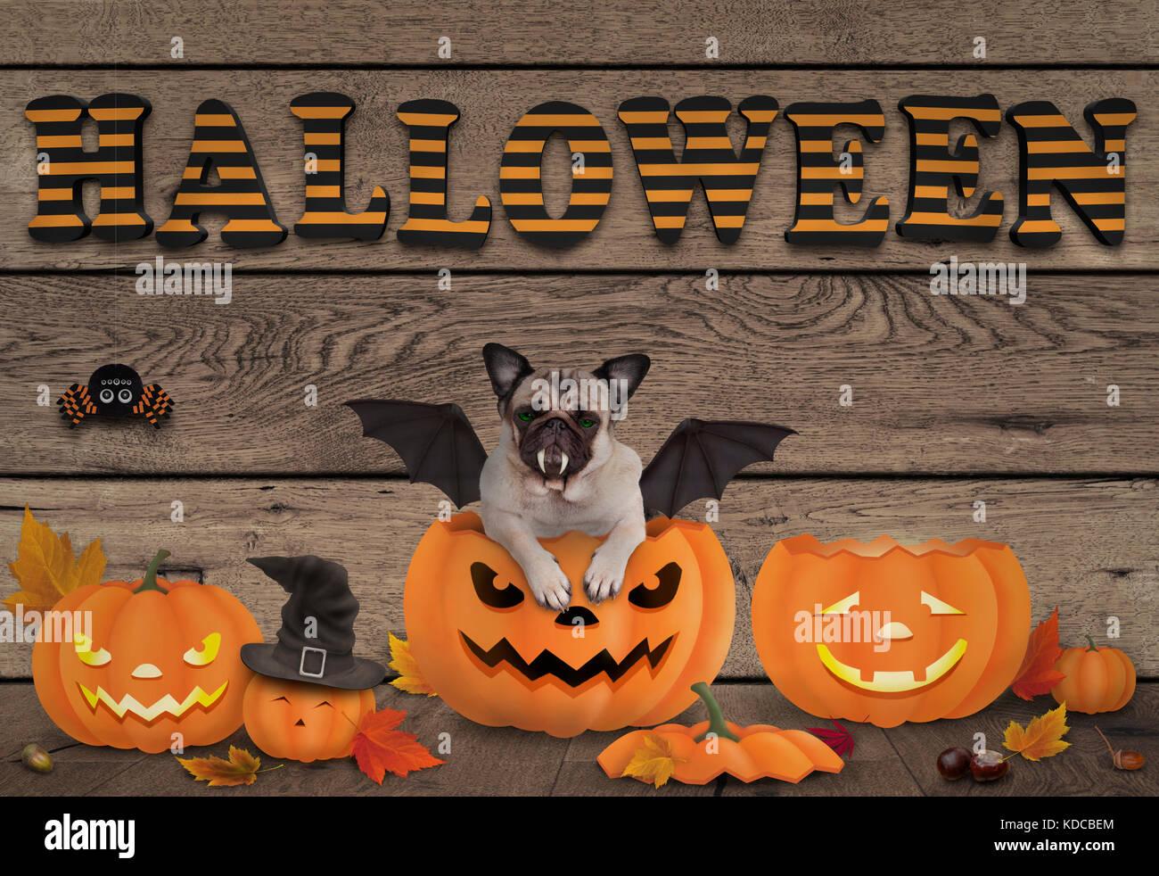 funny halloween pug dog and pumpkin lanterns on wooden background