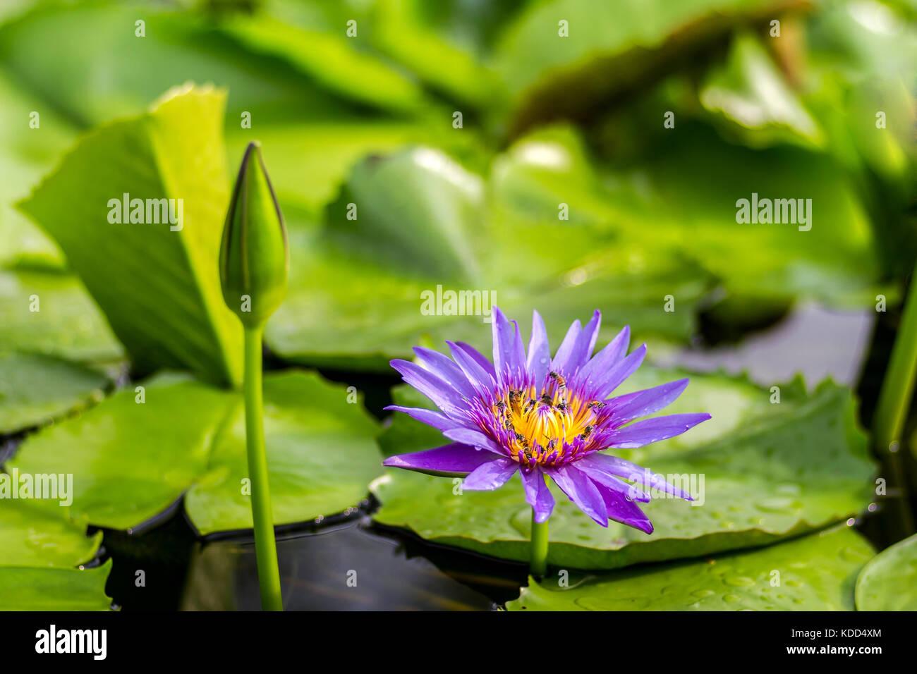 Water Lotus Pond Flowers Rain Stock Photos & Water Lotus