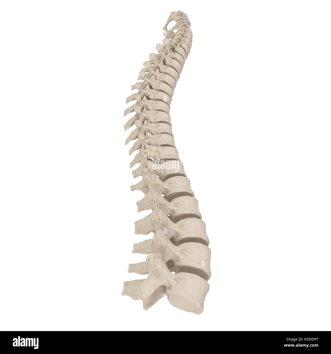 Human Lumbar Spine Anatomy on white. 3D illustration Stock Photo ...