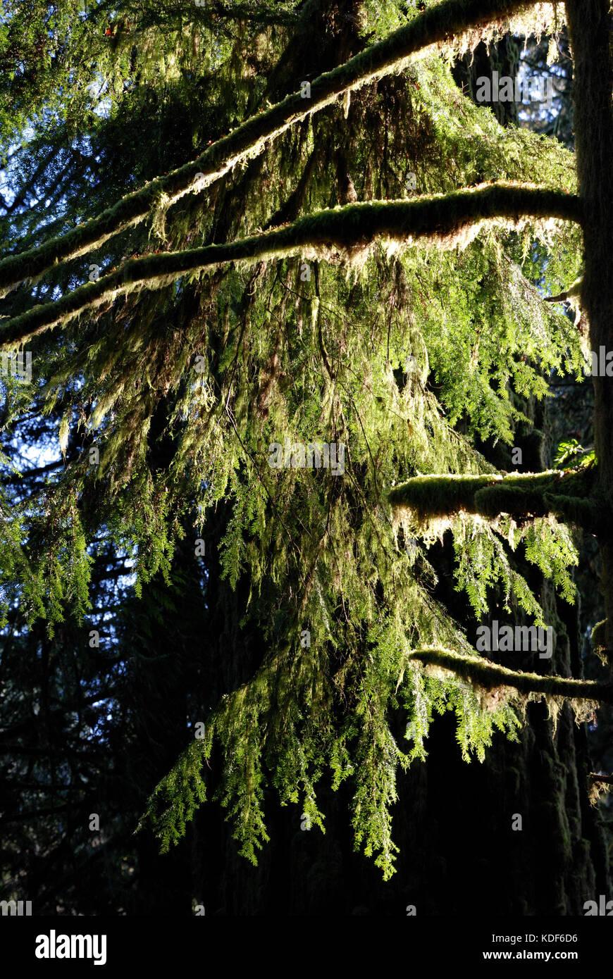 Creeper Vancouver Island