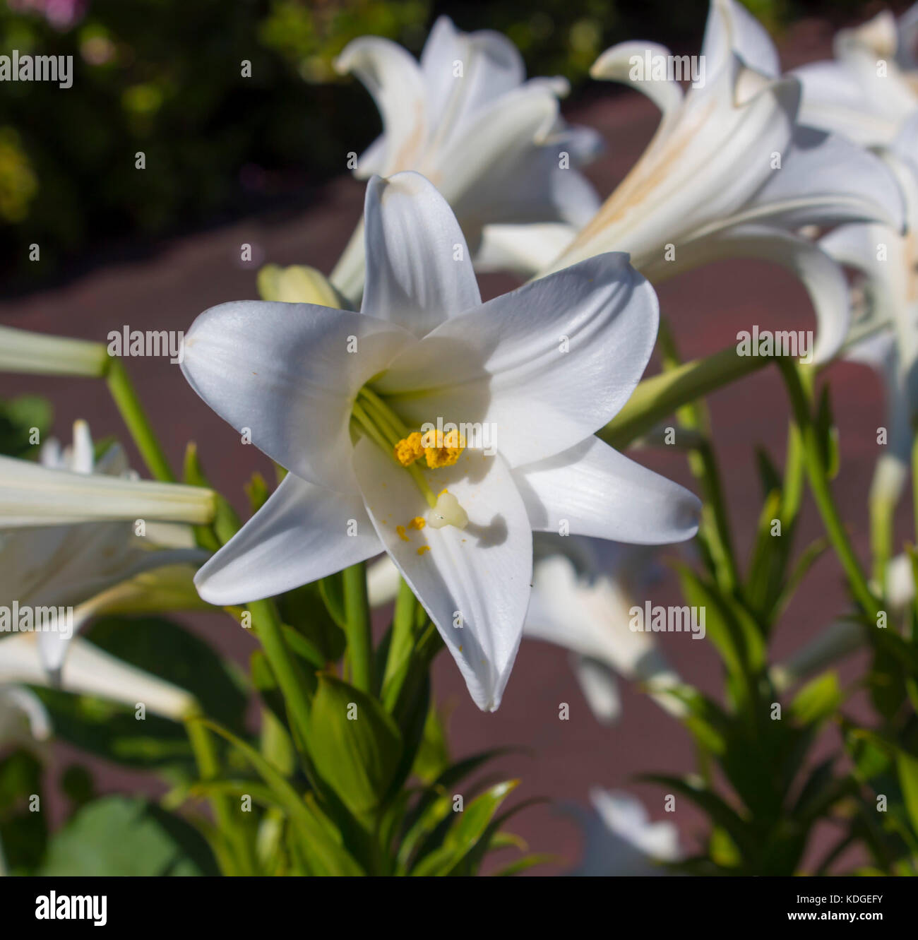 Glorious lilium candidum madonna lily a plant in the genus lilium glorious lilium candidum madonna lily a plant in the genus lilium one of the true lilies flowering in late spring is a decorative bloom izmirmasajfo Gallery
