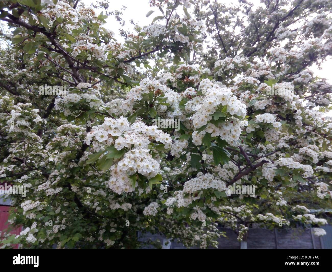 Branches of a blossoming fruit tree with small white flowers in branches of a blossoming fruit tree with small white flowers in spring day mightylinksfo Image collections