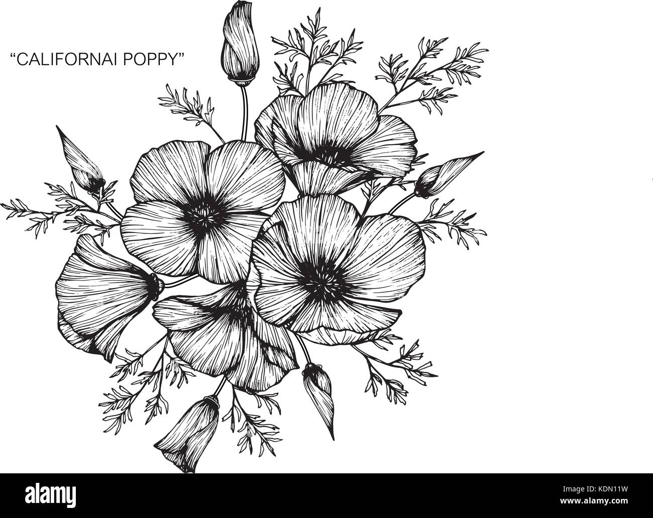California Poppy Flower Drawing Illustration Black And White With